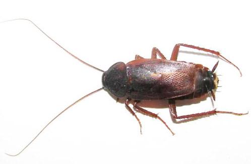 Κατσαρίδα - Blatta orientalis (ανατολική κατσαρίδα)