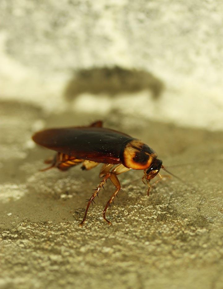 Κατσαρίδες. Είναι κρυπτικά, δραστηριοποιούνται κατά την νύχτα και κρύβονται κατά την ημέρα.