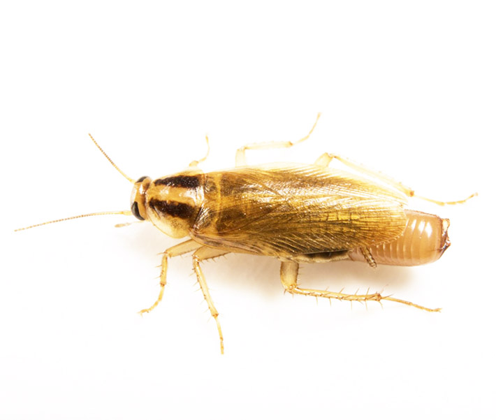 Κατσαρίδα - Blattella germanica