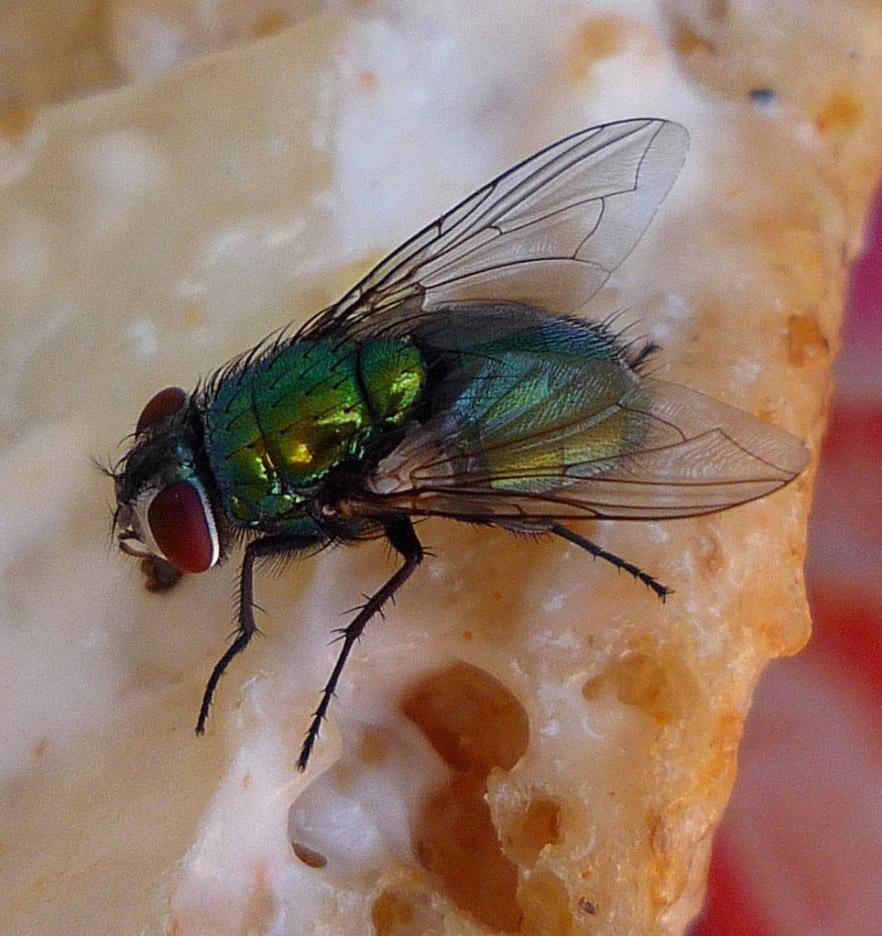 Απεντομώσεις - Μύγες