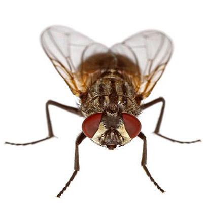 Musca domestia (οικιακή μύγα)