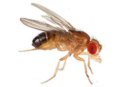 Μύγες - Drosophilidae