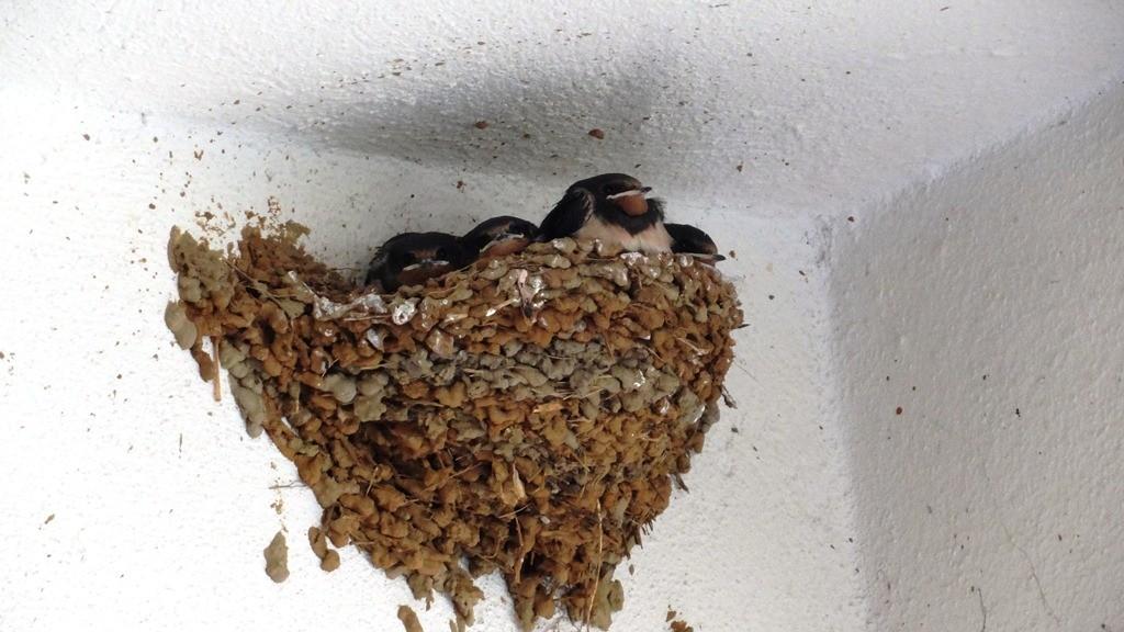 Γενικές πληροφορίες για τα πτηνά - Φωλιές χελιδονιών