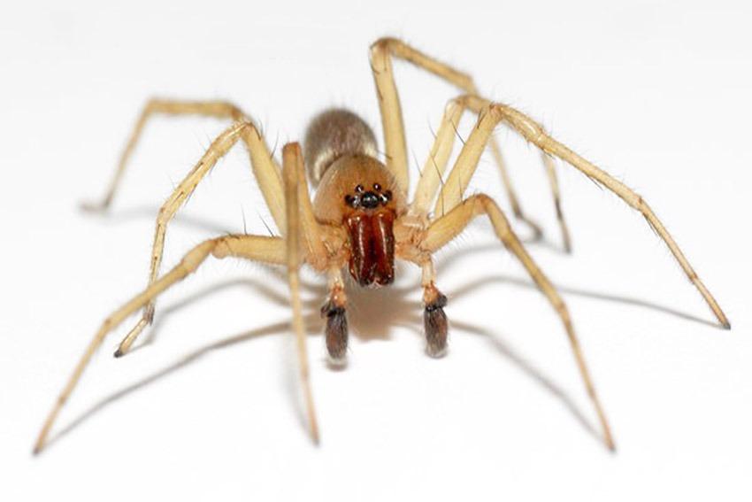 Αράχνη οικογ. Clubionidae