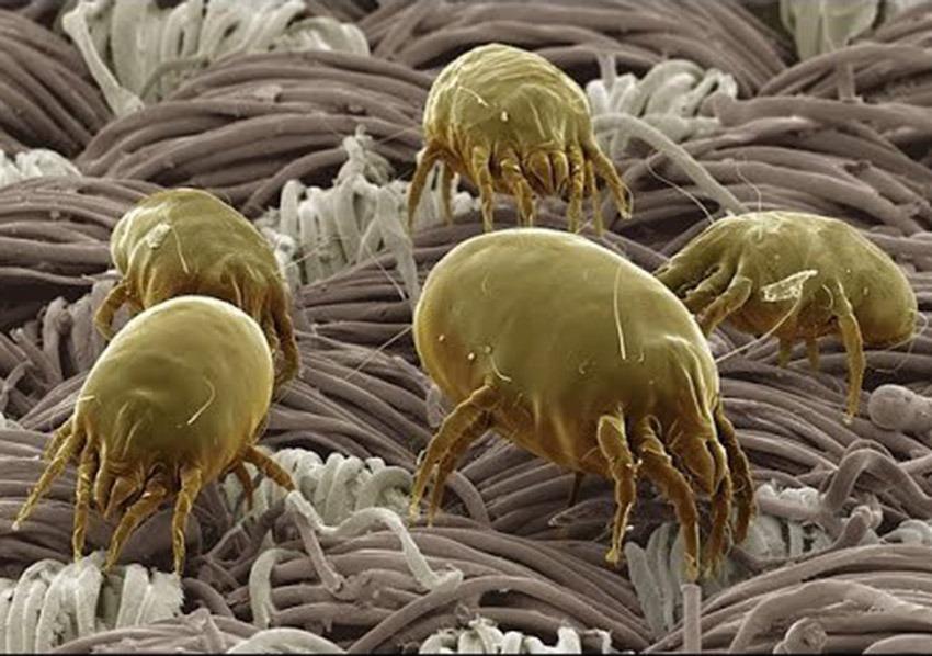 Γένος Dermatophagoides (Oικ. Pyroglyphidae): Ακάρεα της σκόνης