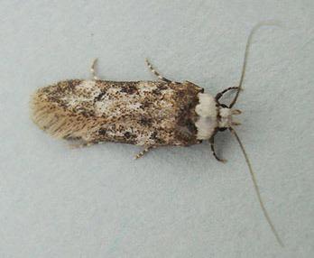 Endrosis sacritrella (Λευκός σκόρος του σπιτιού)