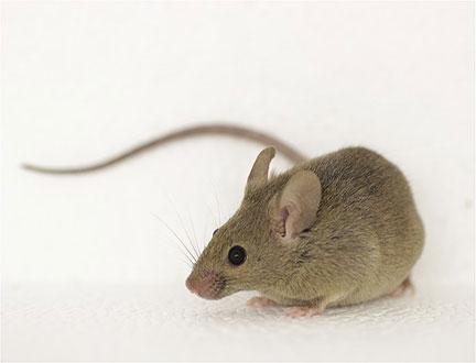 Ποντίκια - Mus musculus