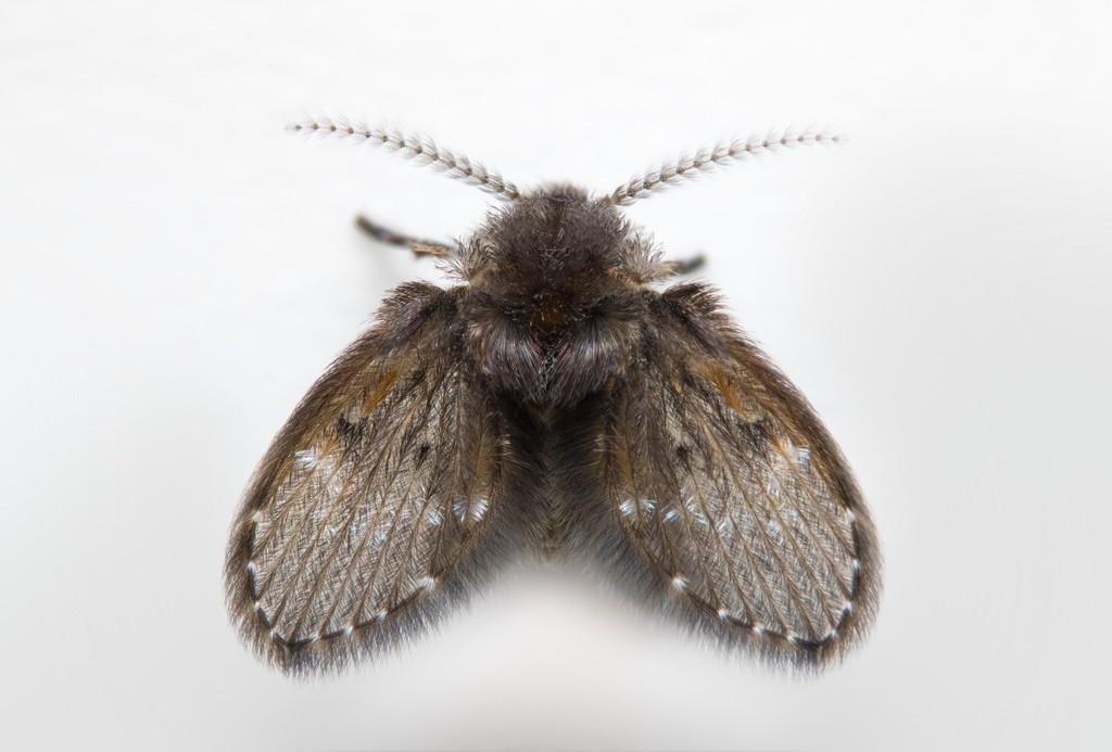 Σκνίπες (Psychodidae)