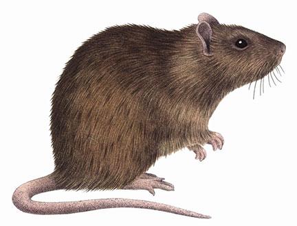 Ποντίκια - Rattus norvegicus