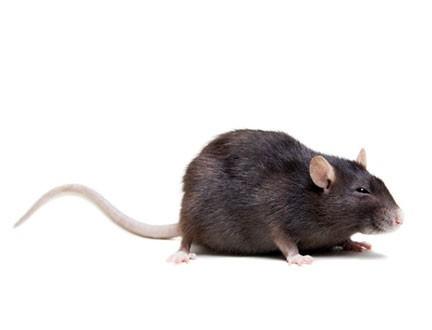Πντίκια - Rattus rattus