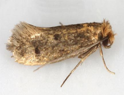 Tinea pellionella (Σκώρος των μάλλινων και των υφασμάτων)