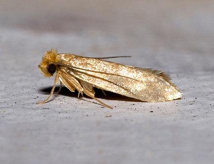 Tineolla bisseliella (Σκώρος των υφασμάτων)